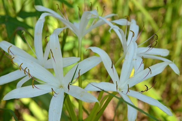 Swamp Lily in Shade 9-15-18