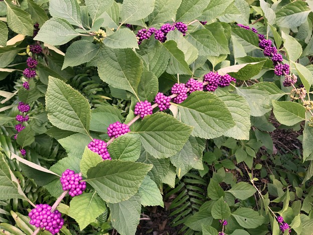 Beautyberry Bush 9-15-18