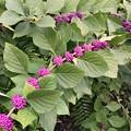 Photos: Beautyberry Bush 9-15-18