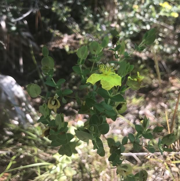 Hypericum crux-andreae 11-10-18