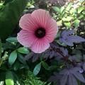 Cranberry Hibiscus 11-10-18