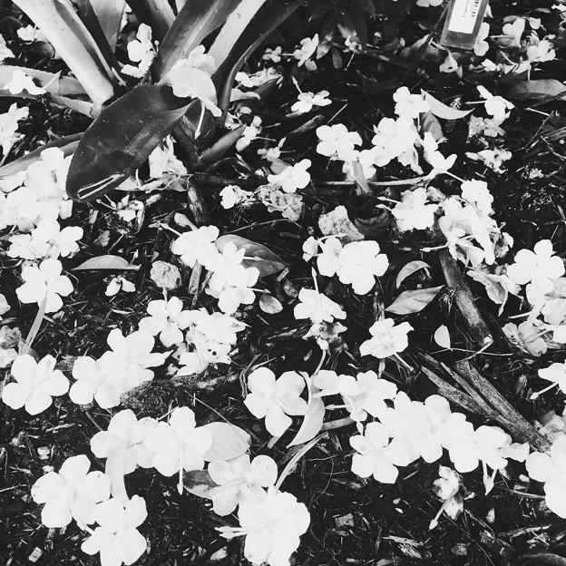 Brunfelsia uniflora 11-10-18