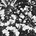 Photos: Brunfelsia uniflora 11-10-18