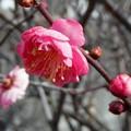 梅が咲いてました。2019-1-12