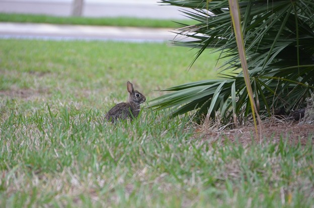 Eastern Cottontail2 3-18-19