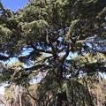Grant Pine 1-24-19