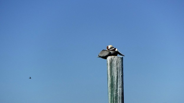 Brown Pelican 4-27-19