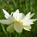 Sacred Lotus and Cuckoo Wasp 5-4-19