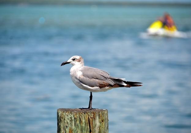 Bonaparte's Gull  6-8-19