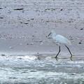 Photos: Snowy Egret 7-6-19