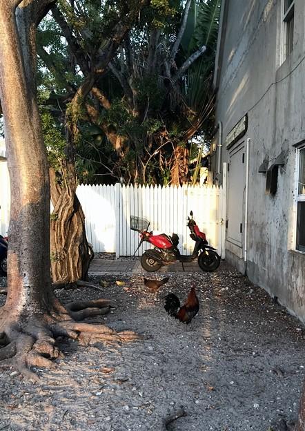 Chickens 6-8-19