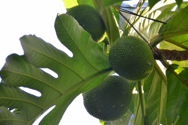 Breadfruit 7-20-19
