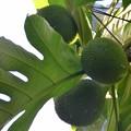Breadfruit 7-20-19
