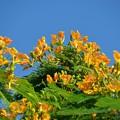 Photos: Yellow Royal Poinciana I 7-20-19