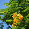 Yellow Royal Poinciana II 7-20-19