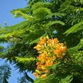 Photos: Yellow Royal Poinciana II 7-20-19
