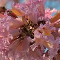 Rosy Trumpet Tree I 2-9-19