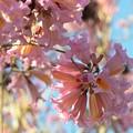 Rosy Trumpet Tree II 2-9-19