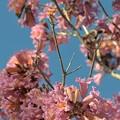 Photos: Rosy Trumpet Tree III 2-9-19