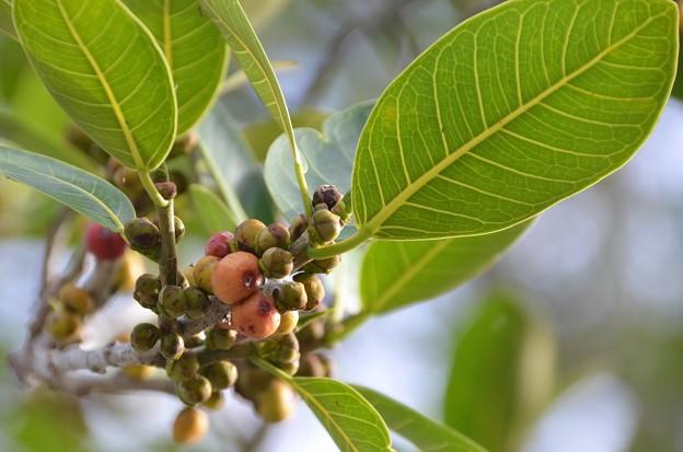 Ficus aurea 3-30-19