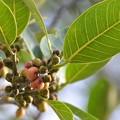 Photos: Ficus aurea 3-30-19