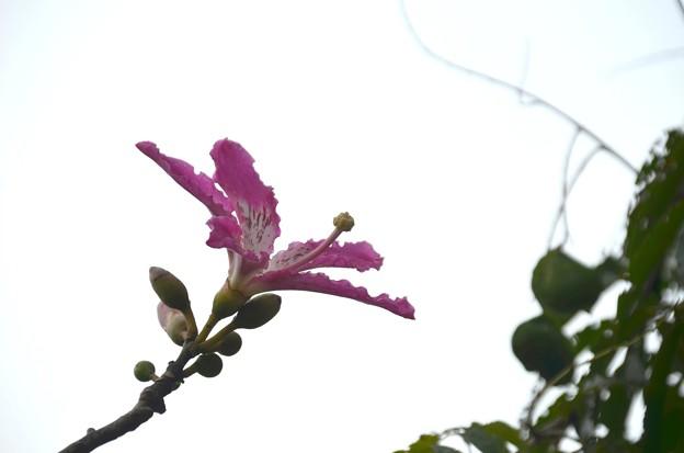 Photos: Silk Floss Tree II 10-7-19