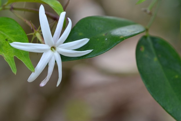 Angel Wing Jasmine 3-30-19