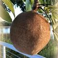 Water Chestnut 10-3-19
