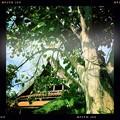 Bodhi Tree and Thai Pavilion 3-30-19