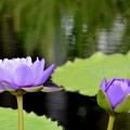 Water Lilies 3-30-19