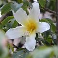 White Silk-Floss Tree I 10-7-19