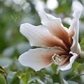 White Silk-Floss Tree II 10-7-19