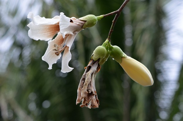 White Silk Floss Tree 11-27-18