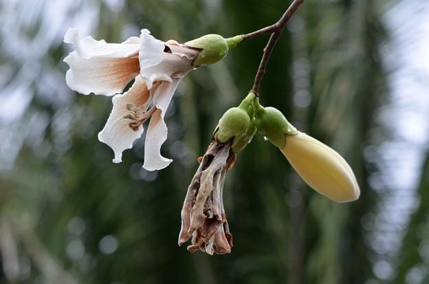Photos: White Silk Floss Tree 11-27-18