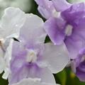 Brunfelsia uniflora I 11-27-18