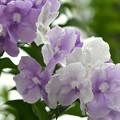 Brunfelsia uniflora II 11-27-18