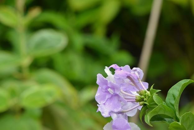 Brunfelsia uniflora III 11-27-18