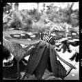Photos: Passiflora coccinea 11-27-18