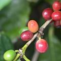 Photos: Coffea Arabica Caturra 10-7-19