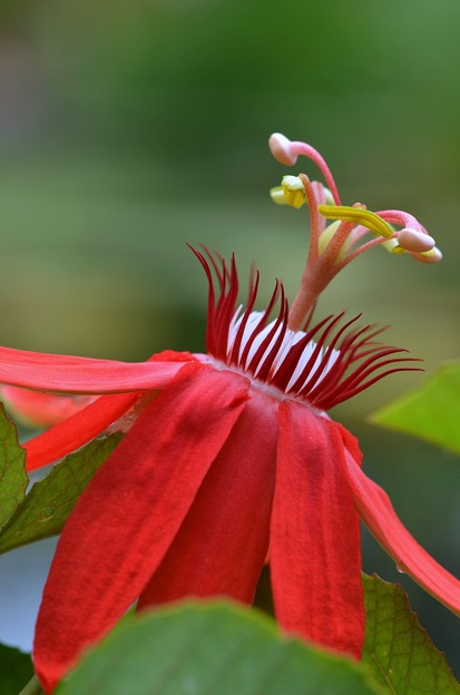 Scarlet Passion Flower 11-27-18