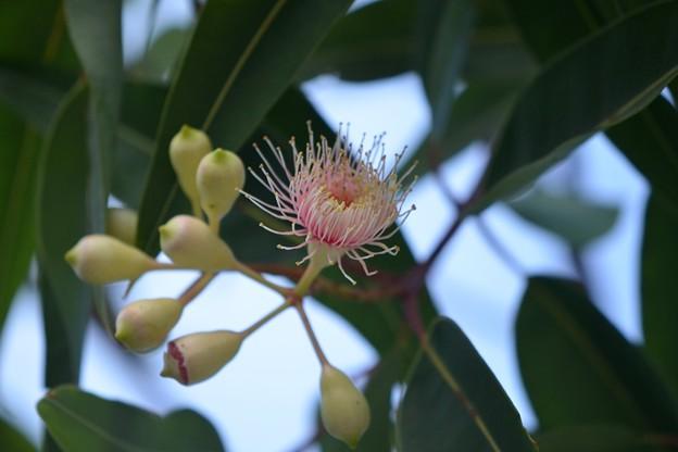 Red Flowering Gum 'Pink Form' 10-7-19