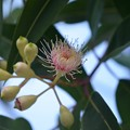 Photos: Red Flowering Gum 'Pink Form' 10-7-19