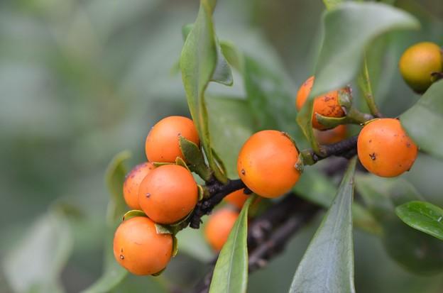 Brunfelsia nitida 11-27-18