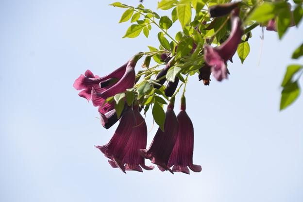Jacaranda jasminoides 3-30-19