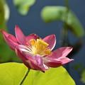 Pink Lotus 10-7-19