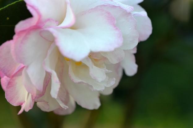 Sasanqua Camellia I 12-10-19