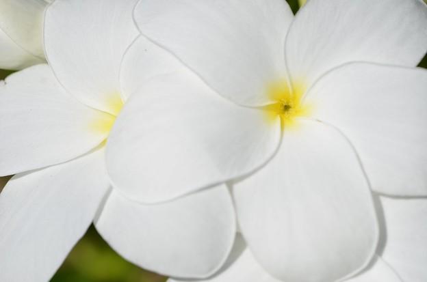 Plumeria I 4-23-19