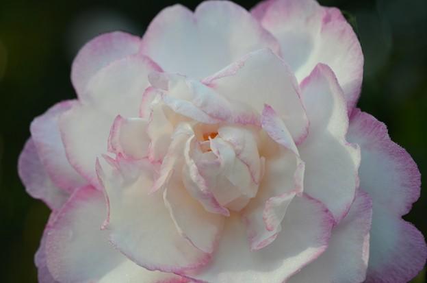 Sasanqua Camellia II 12-10-19