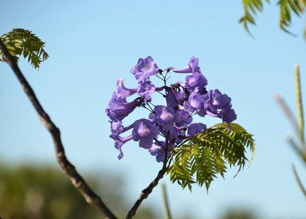 Jacaranda cuspidifolia 4-23-19
