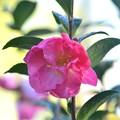 Camellia sasanqua 12-10-19